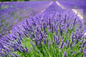Lavender soothing for hair