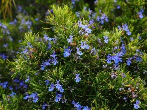 rosemary essential oil very good for muscular pain