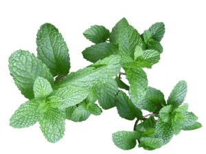 peppermint oil great for hair