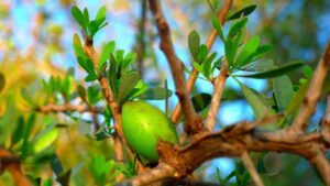 Argan oil tree morocco great for hair loss